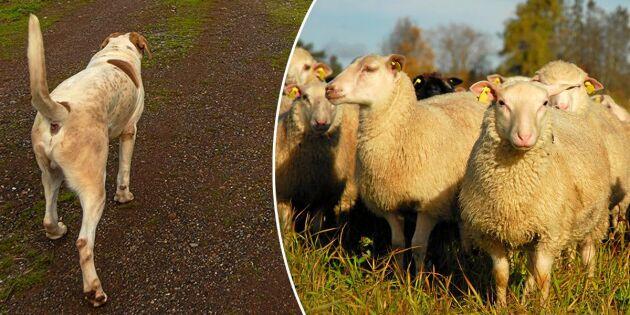 Koppelkrav på hundar kan skärpas efter flera attacker mot får
