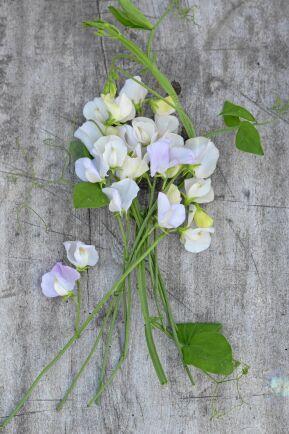 Blekt lila 'Spencer Arthur Hellyer' doftar fantastiskt också.