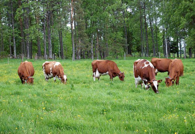 Ett slopat beteskrav för mjölkkor riskerar att svärta ned svensk mjölk, tror Barbro Winge.
