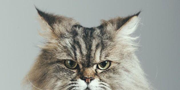 Så gör du om din katt rymmer – 6 smarta tips