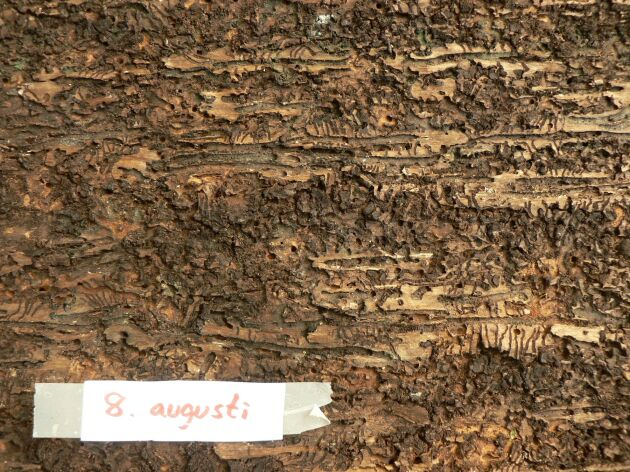 Gnag av åttatandad barkborre, granbarkborre, 8 augusti.