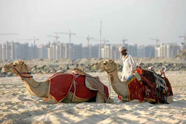 Avföring från kameler används som bränsle för cementtillverkning i Förenade Arabemiraten. Arkivbild