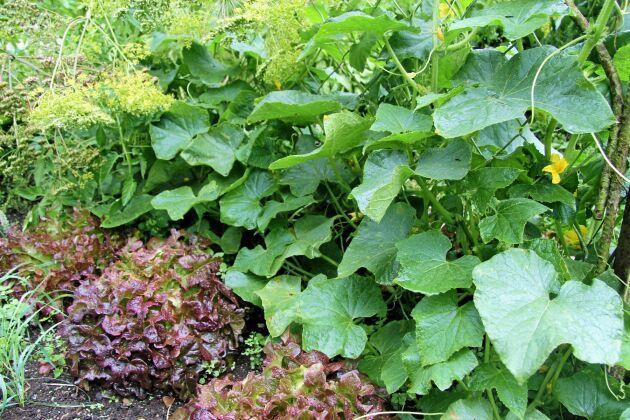 Hügelkulturen blir tidigt varm och håller fukt. Perfekt för gurka.