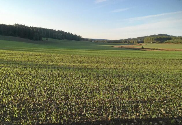 På Spikgårdarnas Lantbruk i Stora Skedvi i Dalarna är fälten nysådda med höstråg.