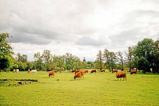 500 köttdjur finns i dag på gården.
