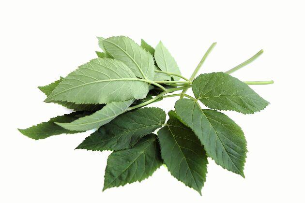 Kirskålsbladen sitter tre och tre i våningar på en mittstjälk.