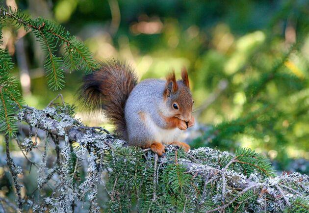 Frön från grankottar hör till ekorrens viktigaste föda. Den bygger också gärna sitt bo i en tät gran.