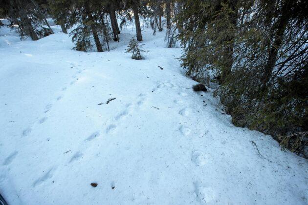 Spår i snön efter en annan skicklig jägare – järven.
