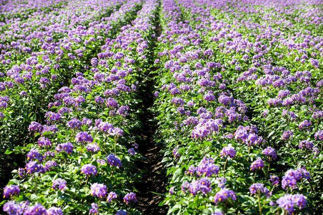 """""""När de blå potatissorterna blommar kan lavendeln slänga sig i väggen"""", säger Bitte Persson."""