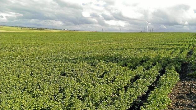 Spenatfröet är litet och ska sås grunt på fuktig såbotten. Ogräsbekämpningen är en annan utmaning för odlaren.