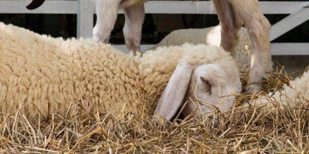 Fårhållare misstänks ha låtit sjuka djur självdö