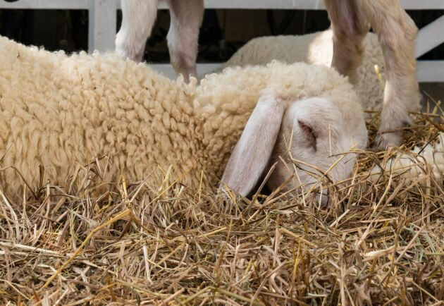Avmagrade djur, felaktig avlivning och avsaknad av veterinärvård är några av de brister som beskrivs i ärendet. (Arkivbild)