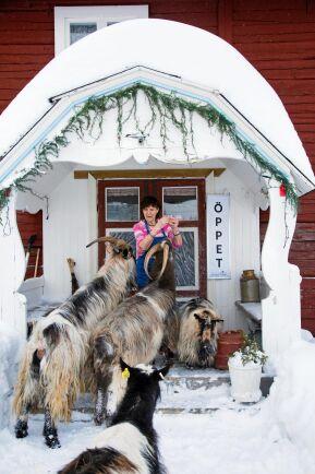 Gårdens jämtgetter är nyfikna och sociala och flockas runt Marikas mamma Inga-Lis Westlund.