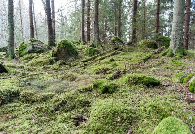 Många skyddade skogar sköts inte om, eftersom Skogsstyrelsen saknar pengar.