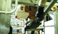 Mjölkrobot hittar brunst och dräktighet automatiskt