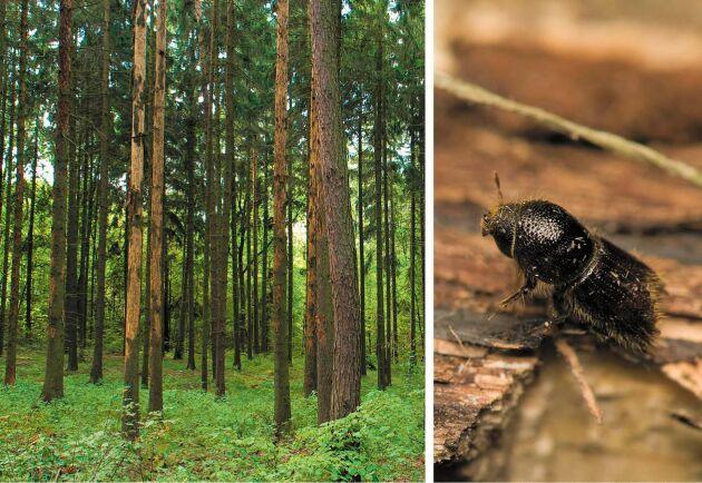 Vi förbereder oss på att ge granbarkborren ett hett uppvaknande nästa år, skriver företrädare för Mellanskog.