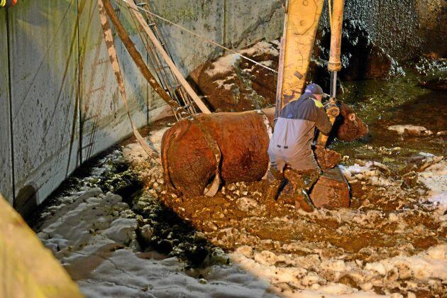 Här räddas tjuren Internet ur den tre meter djupa gödselbrunnen.