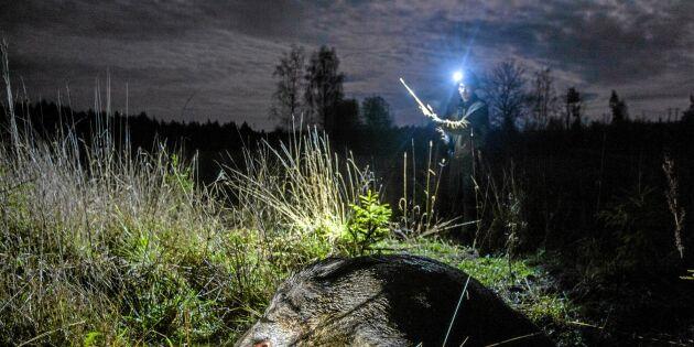 Följ med på spännande jakt – vildsvinsjakt i månskenet