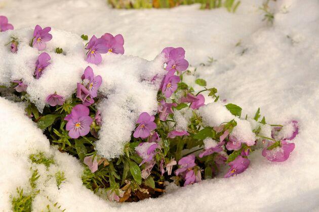 Tålig blomma som trivs till och med med en rejäl giva snö.