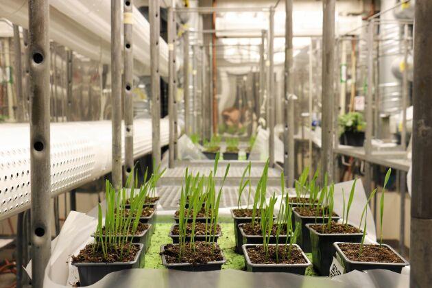 Veteplantor i klimatkammaren i Alnarp, där forskarna kan kontrollera klimatet för att testa grödornas egenskaper.