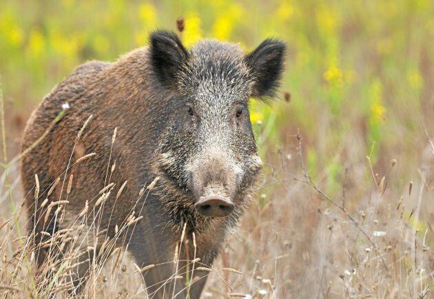 SVA är just nu nedringda av oroliga djurägare som vill importera grovfoder och är oroliga för att de ska få med smitta som exempelvis svinpest till Sverige.
