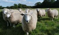 Så får fåren foder i torkan