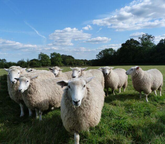 foder till får