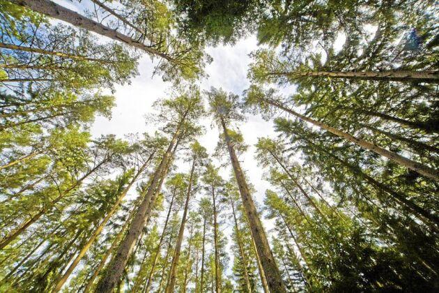 Skyddsvärd. Skogen har en positiv inverkan på svensken, enligt en undersökning som Världsnaturfonden WWF låtit göra.