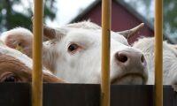 Tre svenskar ska granska EU:s djurtransporter