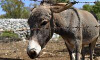 500 åsnor räddades från slakt
