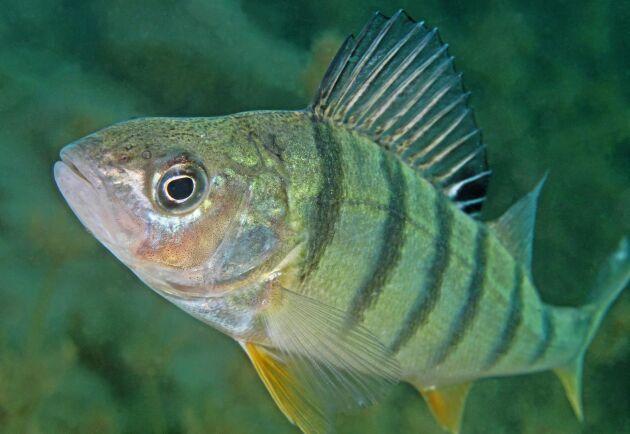 Att återfödas som abborre är Lands krönikörs barndomsdröm. Tänk att få snoka runt i skärgårdarnas alla skrymslen, som denna vackra fisk. Fast silvertärna vore fint att vara också.