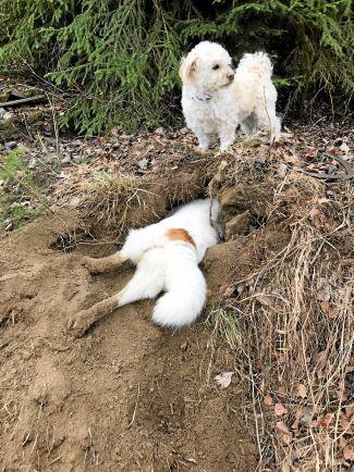Lagarbete. Det som sticker ut ur hålet är Grappo, en norrbottensspets som älskar att gräva efter sork. Vaktposten är Ludde, en fyrvägskorsning som inte drar sig för att fånga möss själv. Matilda Abrahamsson, Liden, tog bilden.