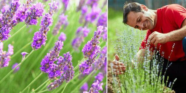 Få mer lavendel utan att ta sticklingar – testa detta enkla knep!