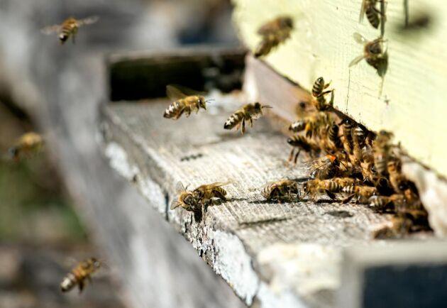 Kemikalieinspektionen har gett nöddispens till betesodlare att få använda neonikotinoider, en kemikalie som kan skada bin och andra pollinatörer.