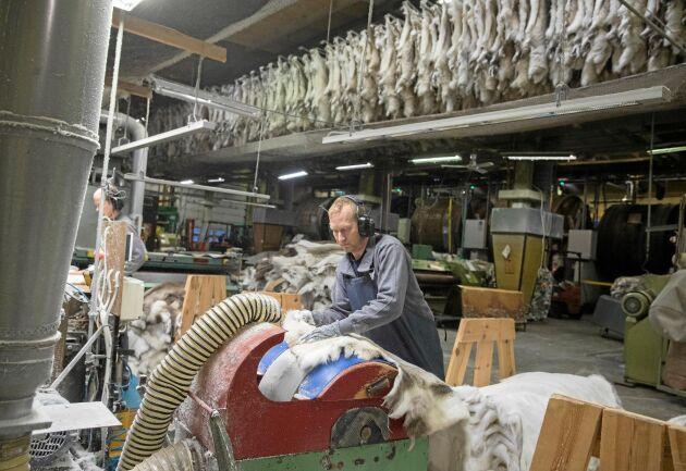 Renhudarna naturgarvas på ett traditionellt och miljövänligt sätt. Här ger Håkan Kero en sista putsning.