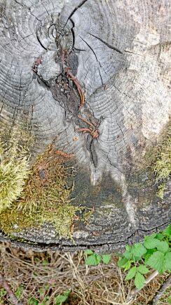 Även Enar Nilsson, Valbo, fastnade för föremål som trädet fångat. Men i det fallet gäller det en gran