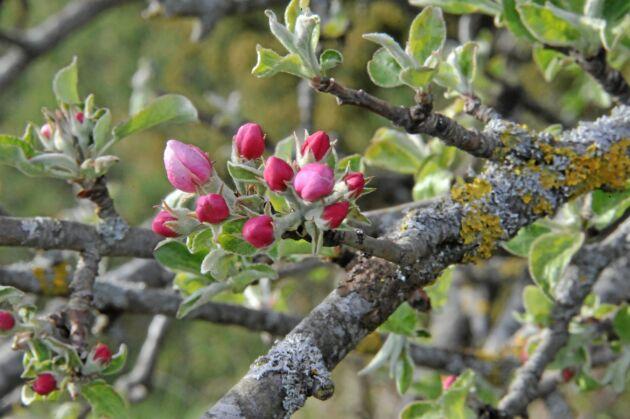 Äppelträden i Skåne har fått liv. Men frost hotar att skada knopparna. Arkivbild.