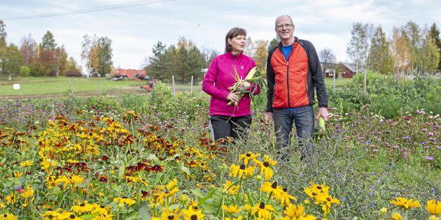 """Tufft för grönsaksodlare i norr: """"Säsongen är kort"""""""