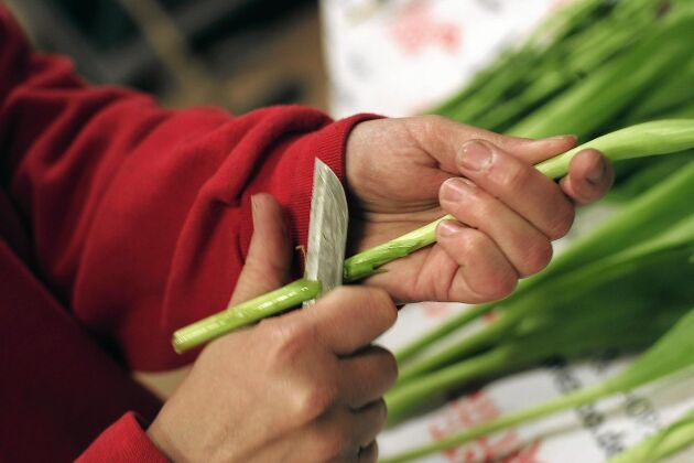 Klipp inte utan skär med vass kniv så kan stjälken dra upp vatten utan hinder.