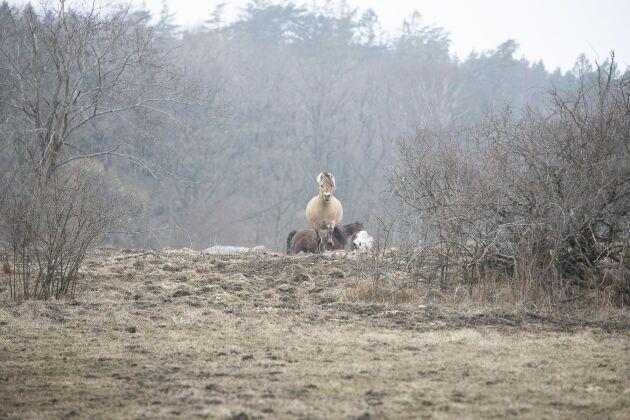 200 hästar finns tillstånd att sälja årligen och Tossene försäljningsstall har plats för 80 hästar.