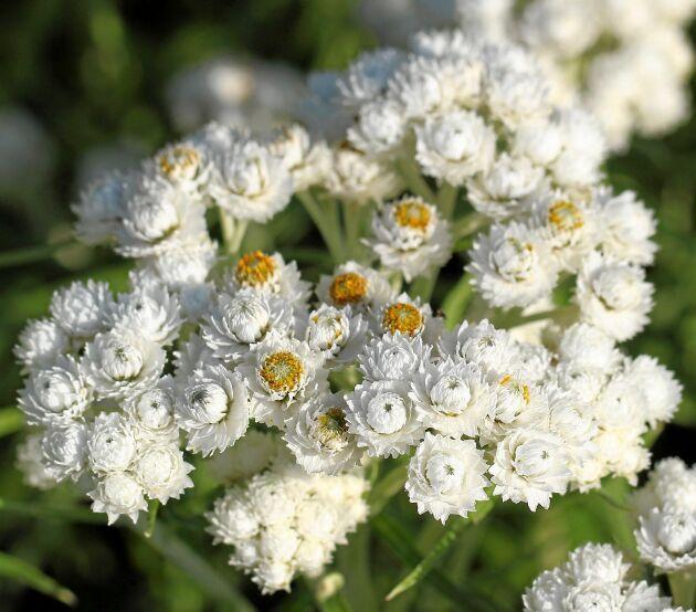 Pärleternell med små blommor.