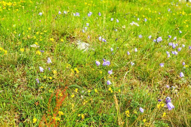 Klassisk blåklocksmark en torr och mager ängsbacke.