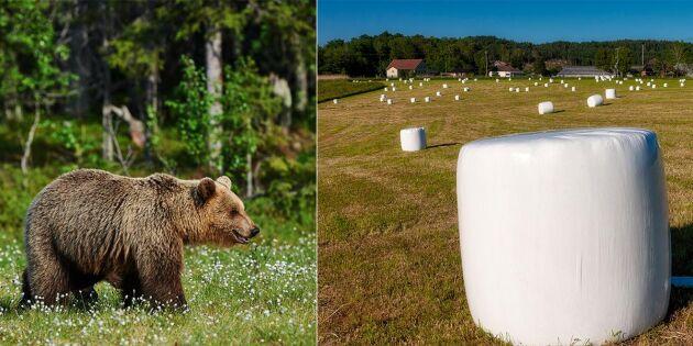 Fick ersättning efter björnarnas lek med balar