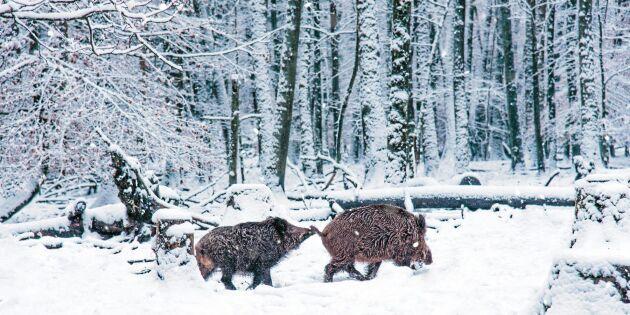 Tyska bönder kräver att 70 procent av vildsvinen skjuts
