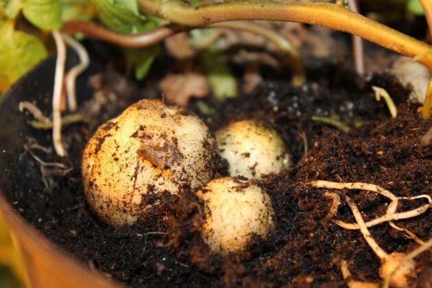 Nya skräddarsydda potatissorten avsedd för stärkelseindustrin.
