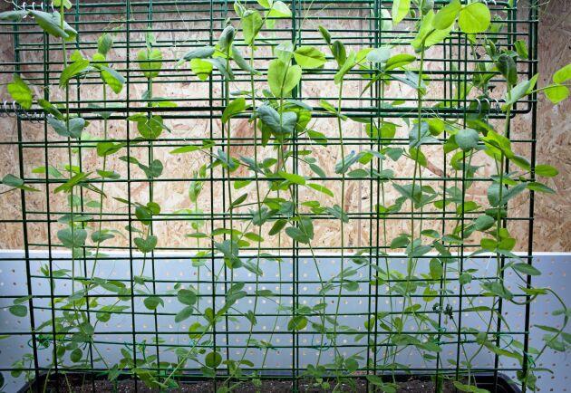 Sven Andersson är även med i ett projekt som handlar om fröodling av kulturgrödor i genbanken, på bilden syns skärbönan Ståshult.
