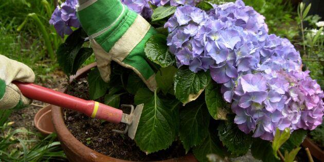 Därför byter din hortensia färg – och det här kan du göra åt det