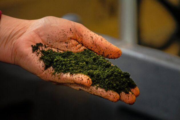 Koncentratet innehåller 50 procent protein TS. Det kan därmed mäta sig med soja.