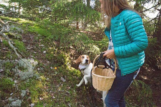 Försök lära hunden att sitta ner den hittat kantareller.