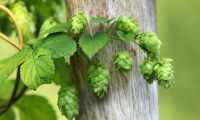 Humle till öl odlas på Gotland